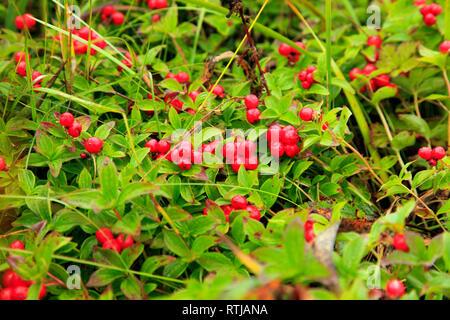 Dwarf cornel, bunchberry (Cornus suecica), Opala river, Kamchatka Peninsula, Russia - Stock Image