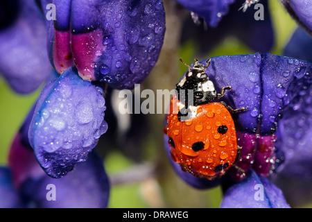 Ladybug (Ladybird) on Bluebonnet - Stock Image