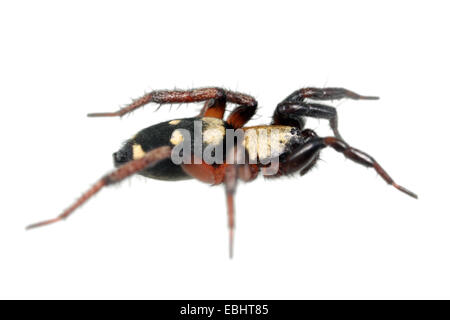 Female Callilepis nocturna spider on white background. Family Gnaphosidae, Ground spiders. - Stock Image