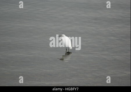 A lone Little Egret wading at Draycote Water reservoir on 25th October 2016. - Stock Image