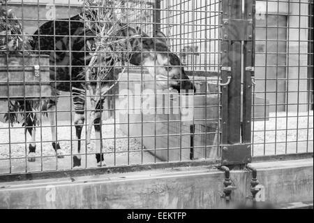 Okapi in eating in its winter indoor cage in Ueno Zoo, Japan - Stock Image