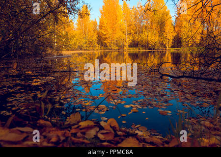 Fallen from the trees of foliage yellow and red on the watery surface of the forest lake - Stock Image