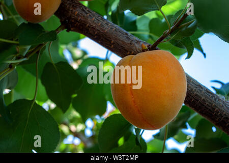 Ripe apricot is hanging on a tree branch on a natural background - Stock Image