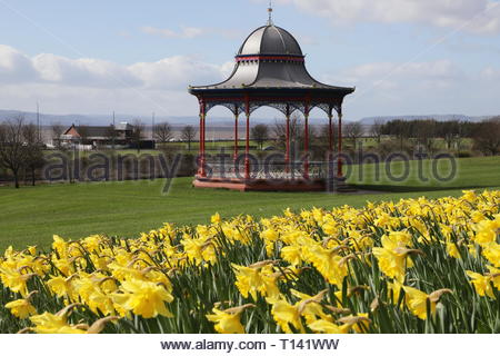 Dundee, UK. 23rd March 2019. A glorious display of yellow daffodils compliments the red bandstand on Magdalen Green on a sunny spring day in Dundee.  © Stephen Finn/Alamy Live News - Stock Image