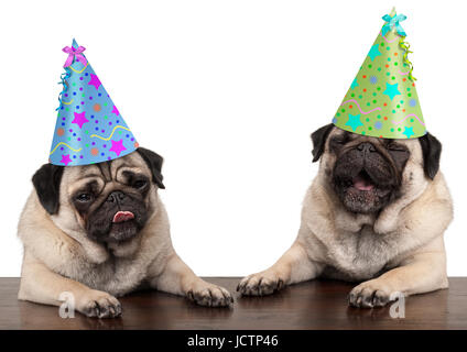 adorable cute pug dog puppies singing and wearing  birthday hat, isolated on white background - Stock Image