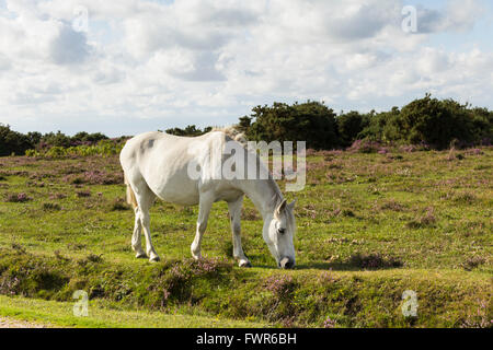 Free roaming pony grazing in rough pasture in the New Forest, Hampshire. - Stock Image