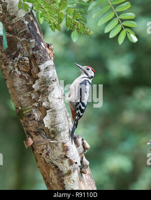 Greater spotted Woodpecker  Dendrocopos major  looking for food on a woodland tree. England UK - Stock Image