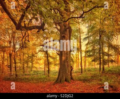 Autumn colours in an English woodland during late afternoon sunshine. Autumn is some people's favourite time of year. Photo Credit - © COLIN HOSKINS. - Stock Image