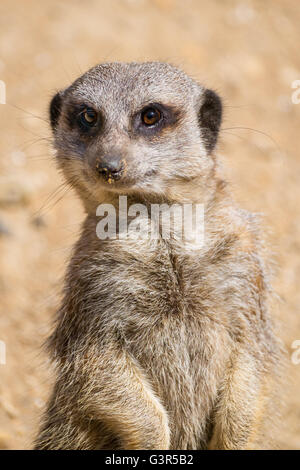 Close up of a Meerkat on watch duty. - Stock Image