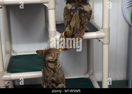 Two sibling cats greet each other while they wait for adoption at the Yolo County Animal Shelter. - Stock Image