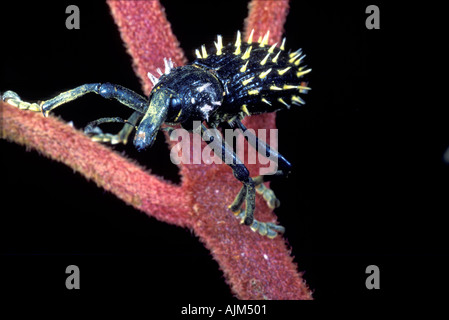 Beautiful weevil beetle from tropical forest in Madagascar - Stock Image