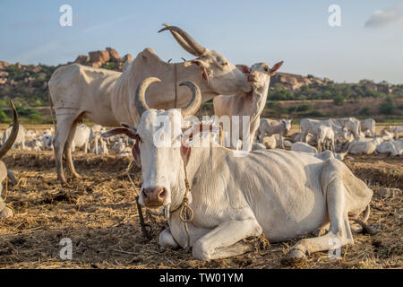 A family of cows in a huge heard in south India - Stock Image