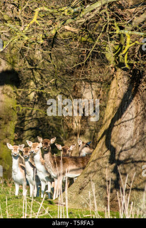 Fallow Deer (Dama dama) in the woods of Holkham park, Holkham hall in North Norfolk, East Anglia, England, UK. - Stock Image