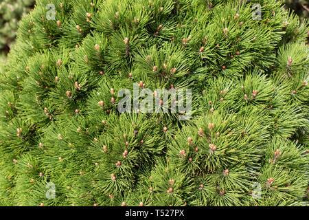 Pinus heldreichii 'Smidtii' at the Oregon Garden in Silverton, Oregon, USA. - Stock Image