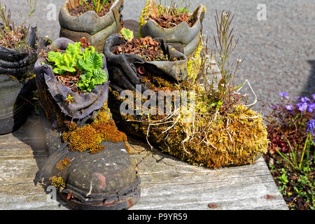 Old boots used as planters - Stock Image