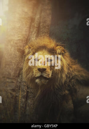 A wild lion animal has a beautiful butterfly on the mammals nose with sun rays of light for a hope or freedom concept. - Stock Image
