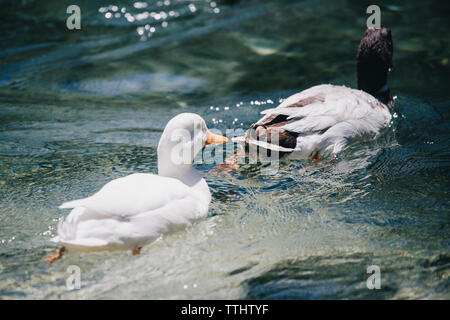 Picture of two ducks swimming in Lago Ghedina, an alpine lake in Cortina D'Ampezzo, Dolomites, Italy - Stock Image