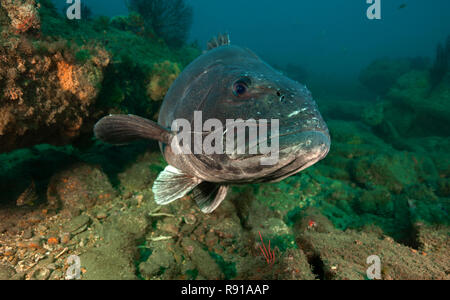 Giant Sea Bass, Stereolepis gigas - Stock Image