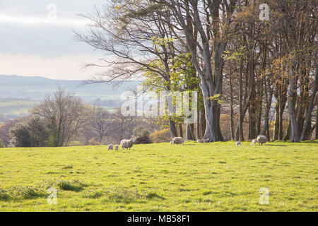 Sheep and lambs grazing in a field in Devon UK - Stock Image