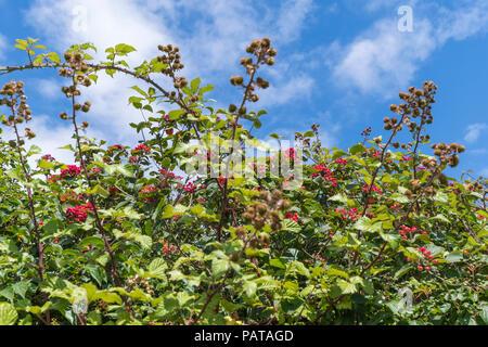 Viburnum shrub, likely Viburnum lantana (AKA the Wayfarer or Wayfaring tree) with red berries against blue sky in Summer (July)in West Sussex, UK. - Stock Image