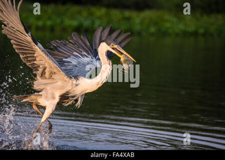 Cocoi Heron or White-necked Heron, Ardea cocoi, taking off with a fish in its beak, in the Pantanal, Mato Grosso, - Stock Image