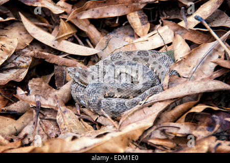 Mato Grosso Lancehead Viper, Bothrops mattogrossensis, coiled on a bed of leaves, Pantanal (Taken under controlled - Stock Image