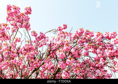 Pink cherry blossom flower, Pink cherry blossom tree, Prunus serrulata, cherry blossom, cherry blossom tree, cherry blossom flower, flowering, tree, - Stock Image