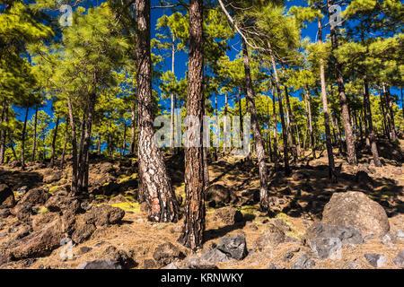 Native Canarian pine forest (Pinus canariensis) with abundant Tenerife bird's foot trefoil (Lotus campylocladus) - Stock Image