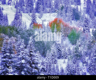 Snow and fall colored aspens in conifer forest. San Juan Mountains , Colorado - Stock Image