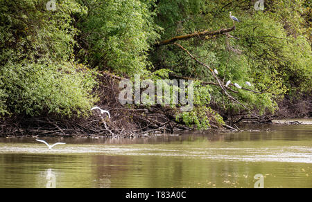 Small Egret (Egretta garzetta) fly over one of the Danube Delta Biosphere Reserve, Romania. The delta has the widest variety of bird species. - Stock Image