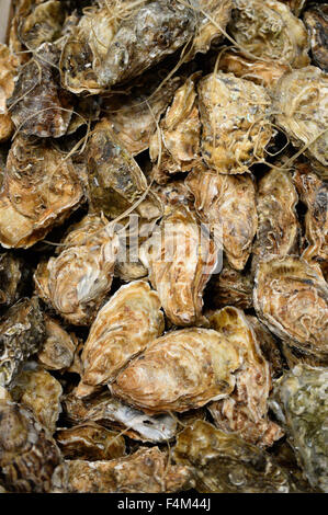 Pile of oysters - Stock Image
