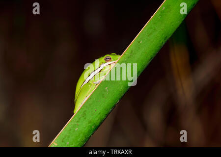 Green tree frog is sleeping/hanging on the leaf of the palm tree. It's always fun to find these small beauties from the plants. - Stock Image