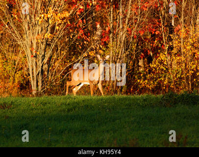 White-tailed deer blends with the autumn colors near Sussex, Kings County, New Brunswick, Canada. - Stock Image