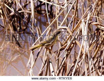 Common Yellowthroat, Geothlypis trichas, first winter male, Arizona USA - Stock Image
