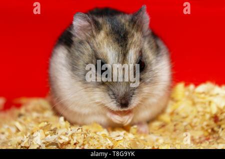 Phodopus sungorus. Jungar hamster in a cage. - Stock Image