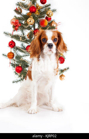 Christmas dog. Cavalier king charles spaniel with christmas tree. Cute. - Stock Image
