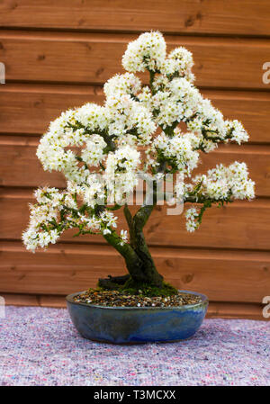 Detail of a beautiful blackthorn bonsai cultivated by a bonsai enthusiast in Northern Ireland in spring flower - Stock Image