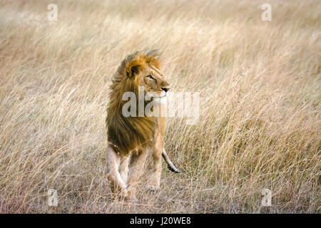 Solitary wild African Lion, panthera leo, walking in tall grass on a windy day in the Masai Mara, Kenya, East Africa - Stock Image
