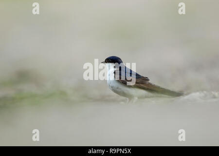The common house martin, Latin name Delichon urbicum,  sometimes called the northern house martin or, particularly in Europe, just house martin standi - Stock Image