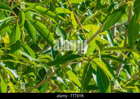 Narrowleaf Cottonwood (Populus angustifolia) tree leaves in spring, Castle Rock Colorado US. Photo taken in June. - Stock Image