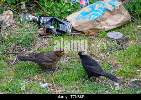 Amongst garbage and rubbish a male blackbird (turdus merula) feeding fledged juvenile female bird - Stock Image