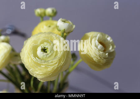 Natural white / light yellow flowers. A pretty closeup photo with multiple flowers in it. Grey background. - Stock Image