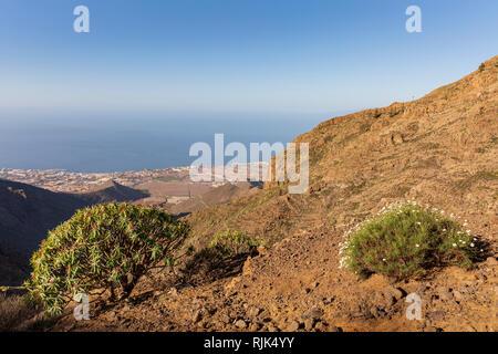 Euphorbia Atropurpurea, Tabaiba Rojo, Spurge plant growing on a ridge in Ifonche above the south coast of Costa Adeje, Tenerife, Canary Islands, Spain - Stock Image