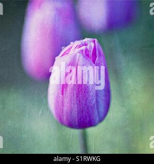 Tulips in garden springtime - Stock Image