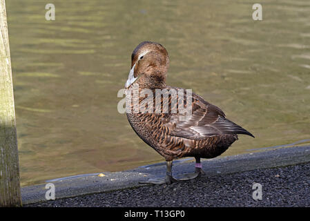 A female Common Eider (Somateria mollissima) female preening herself  beside a lake in Southern England - Stock Image