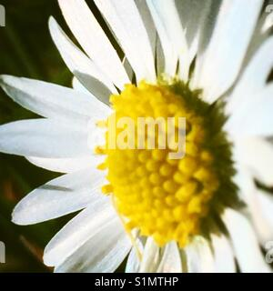 Daisy on macro - Stock Image