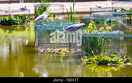 Brighton UK 1st June 2019 - A Heron goes fishing in Queens Park pond Brighton in the hot sunshine with temperatures forecast to reach 28 degrees in some parts of the South East today . Credit : Simon Dack /Alamy Live News - Stock Image