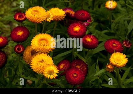 Strawflower (Bracteantha bracteata), flowers. - Stock Image