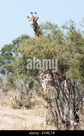 Giraffe looking over tall tree - Stock Image