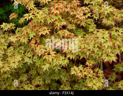 Acer palmatum 'Little Princess' close up of tree - Stock Image